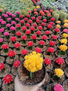 jual-kaktus-gymno-murah.jpg