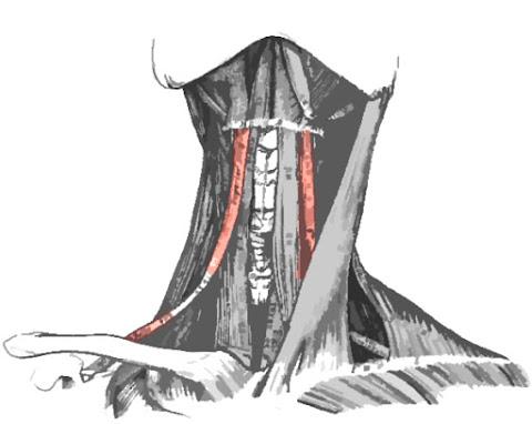Imagen que resalta el músculo omohioideo