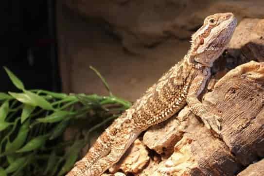Bearded Dragon care