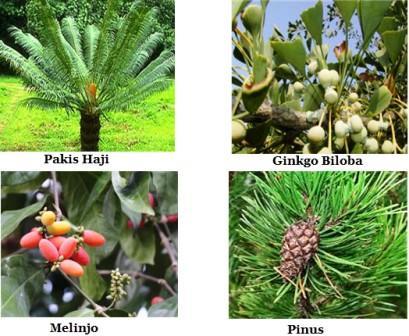 tumbuhan biji terbuka