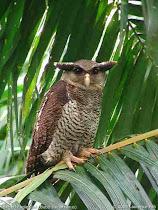 burung hantu bubo sumatranus