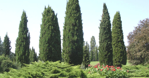 Italian Cypress (Cupressus sempervirens)