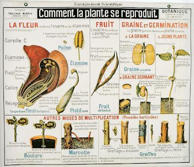 Planche botanique Louis Matruchot, Armand Colin, vers 1920 (collection musée)