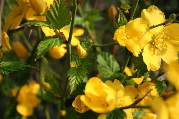 Arbustos con flores amarillas for Arbustos con flores
