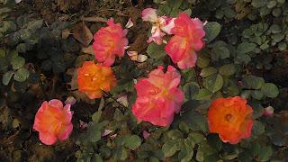 Rose Flower in National Rose Garden Delhi 2074