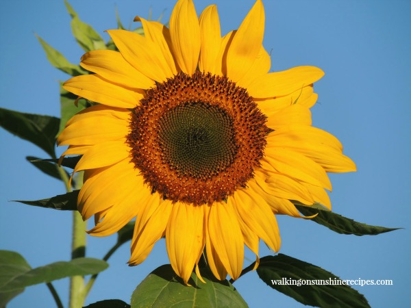 Growing Sunflowers in our Garden