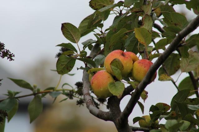 Apples on a tree Eco Village