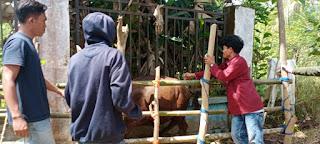 Pemberian Vitamin di Lakukan Mahasiswa K3-P Universitas Muhammadiyah Sinjai di Puskeswan Sinjai Tengah