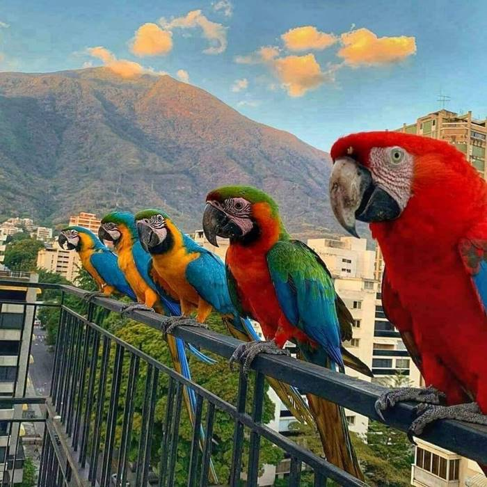 In Caracas (Venezuela), bright city dwellers macaw parrots
