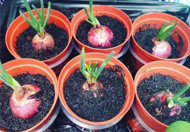 Cara Menanam Bawang Merah. Alat dan bahan untuk menanam bawang merah dan proses cara menanam bawang merah dan Perawatannya serta cara panen bawang merah.