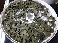 Removing dried mint leaves from the dehydrator
