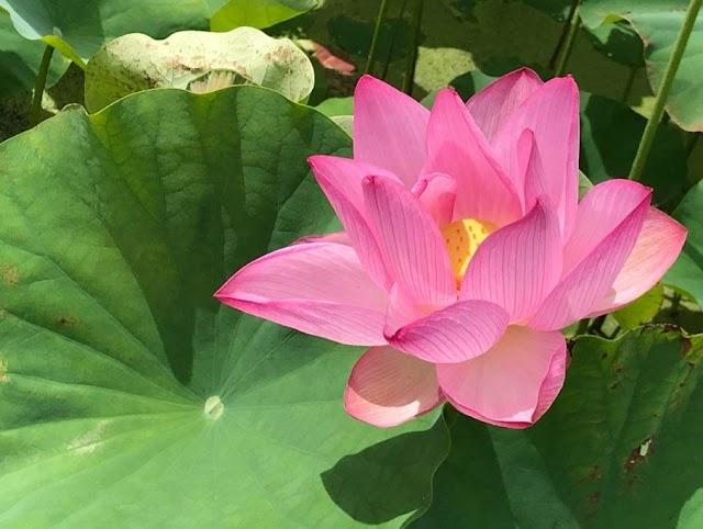 Hunting check-in photo of lotus season at Mua cave