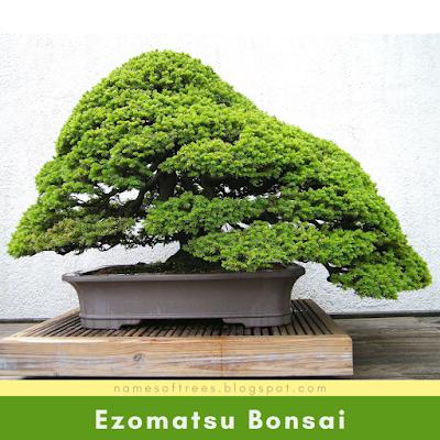 Ezomatsu Bonsai