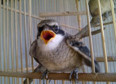 Tips Dan Cara Akurat Menghilangkan Miyik Pada Burung Cendet