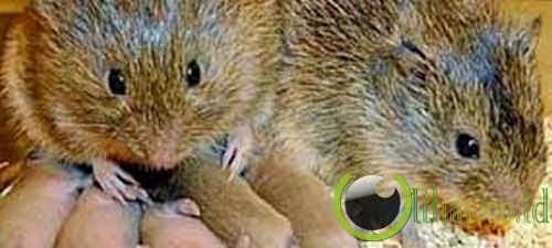 Sepasang Tikus Padang Rumput