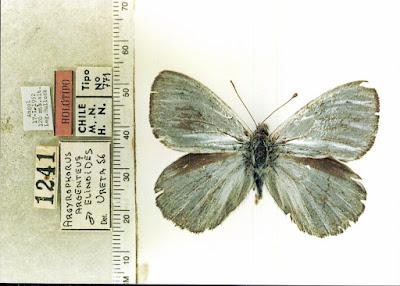 Mariposa plateada (Argyrophorus argenteus)