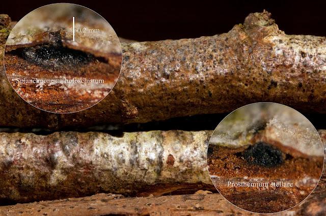 Pleomassaria holoschista