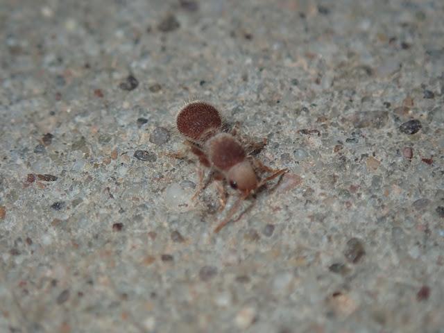 Odontophotopsis sp