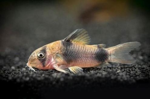 Ikan Cory Catfish Cocok dengan Manfish