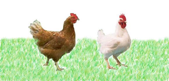 Cara Beternak Ayam Petelur Untuk Pemula - BISNIS AYAM
