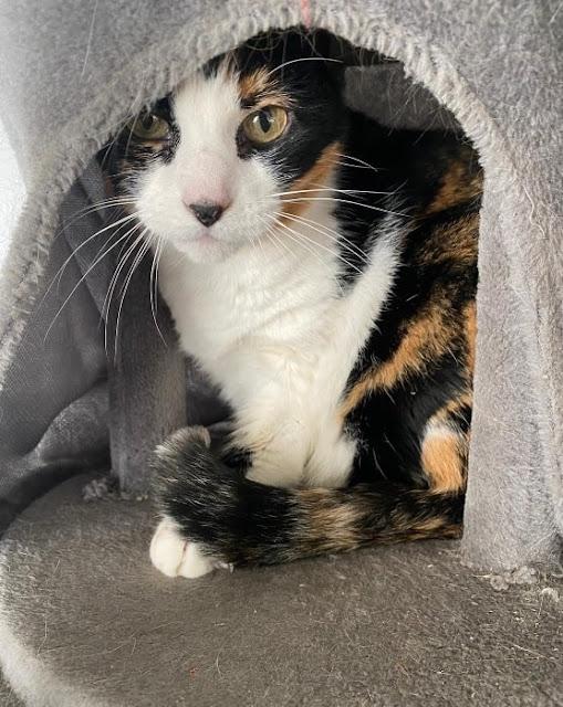 adoptar gata tricolor