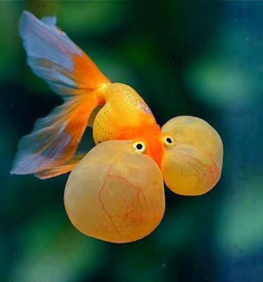 Ikan Mas Koki Bubble Eye