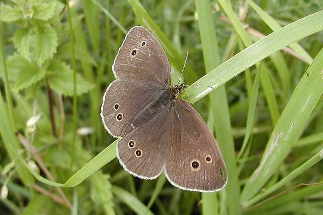 Aphantopus hyperanthus, Brauner Waldvogel, Schornsteinfeger