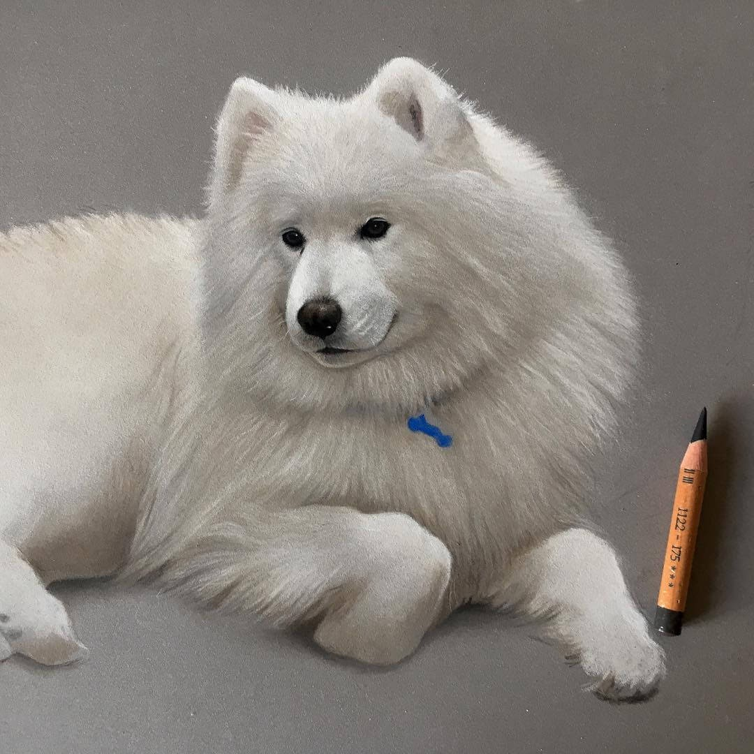 12-Ziima-the-beautiful-Samoyed-WIP-Danielle-Fisher-Dog-Portraits-with-Pastel-Drawings-www-designstack-co