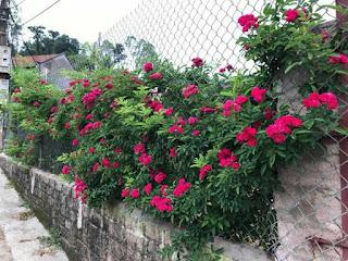 Hoa hồng tầm xuân đỏ