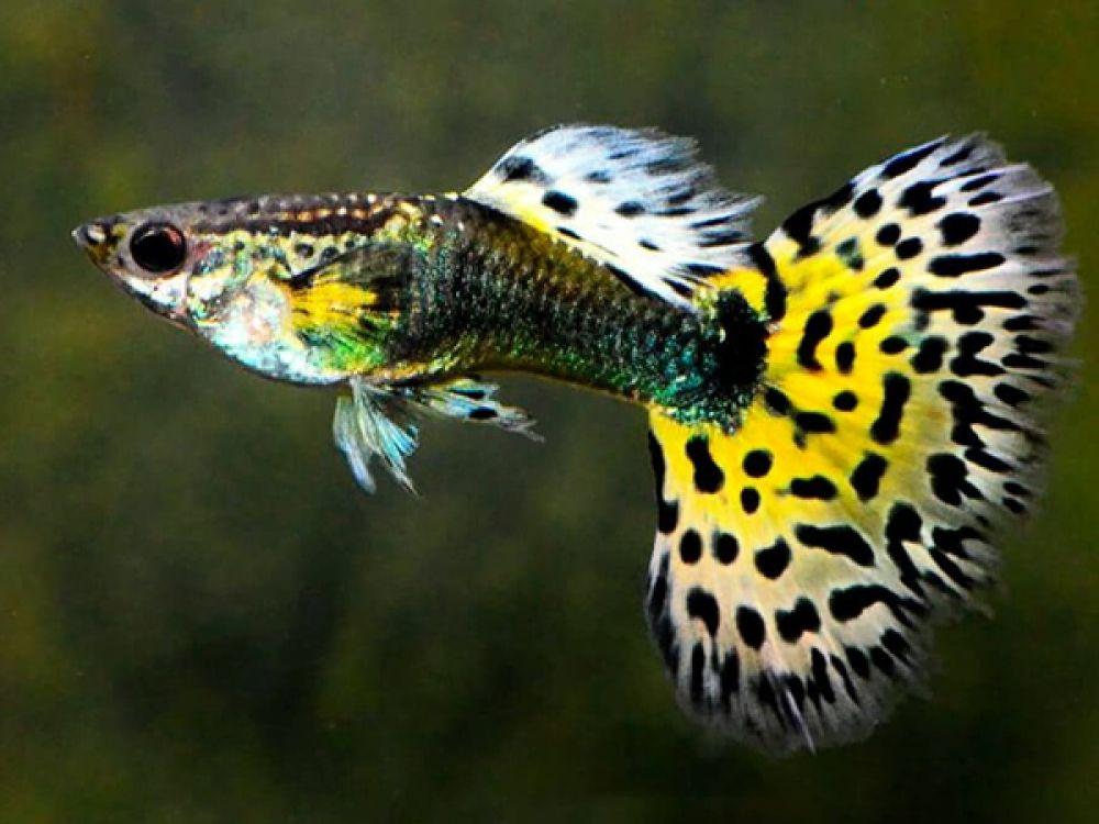 Cara Budidaya Ikan Guppy