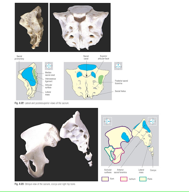 Oblique view of the sacrum, coccyx and right hip bone.