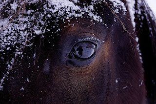 A close up of a horse's face covered in snow