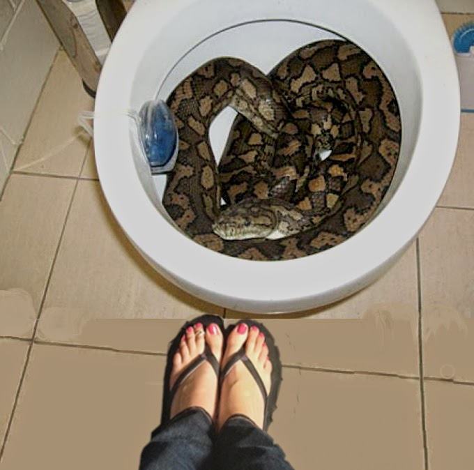 Big python surprises housewife in the loo
