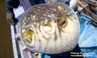 Reticulated Pufferfish