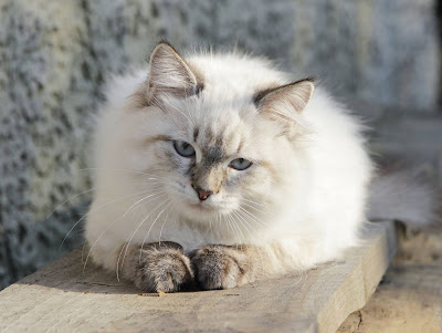 Do You Want To Find a Purebred Cat?