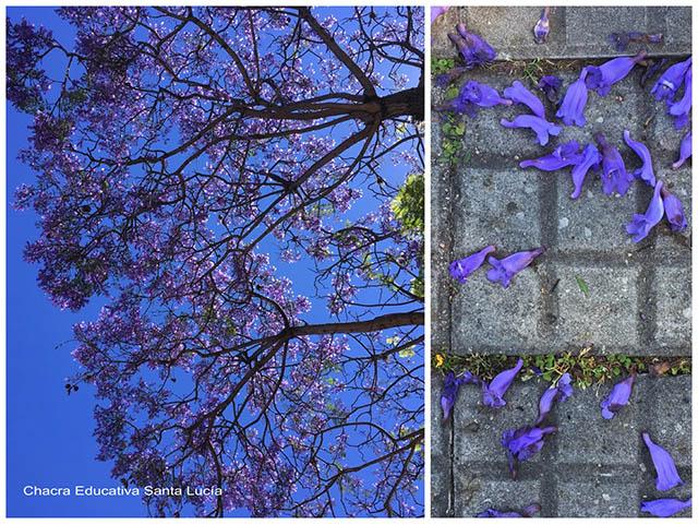 Jacaranda en flot/ flores de jacaranda en la vereda- Chacra educativa Santa Lucía