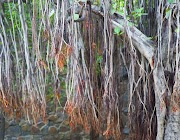 10 Unknown Facts About Banyan Tree You need to Know? - Facts Did You Know?