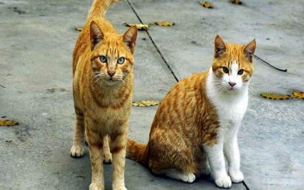 7 Jenis Kucing Populer Peliharaan Di Indonesia Santos Blog