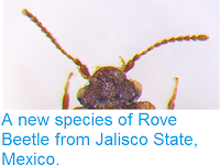 http://sciencythoughts.blogspot.co.uk/2015/03/a-new-species-of-rove-beetle-from.html