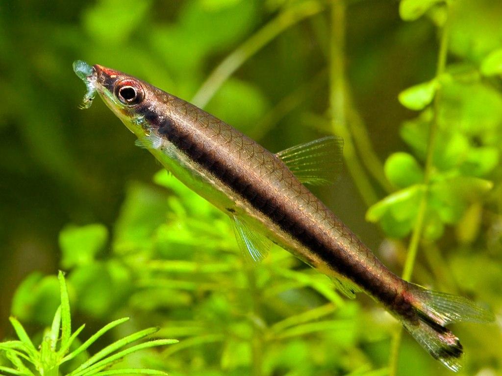 Peixe Zepelim de uma Faixa (Nannostomus unifasciatus)