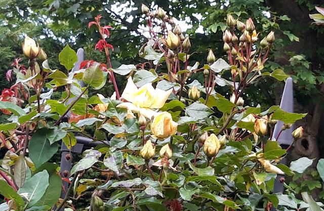 "Climbing rose Rosa ""Emily Grey"""