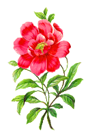 camellia flower botanical artwork image illustration clipart digital