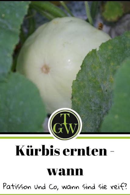 Wann ist der richtige Zeitpunkt einen Kürbis zu ernten? #kürbis #ernte #patisson #hokkaido #muscatdeprovence #butternuss