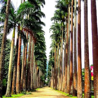 Palmeiras Imperiais no Jardim Botânico do Rio de Janeiro