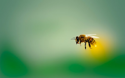 Gambar lebah madu
