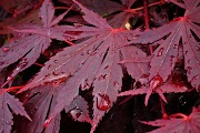 A Weeping Japanese Maple