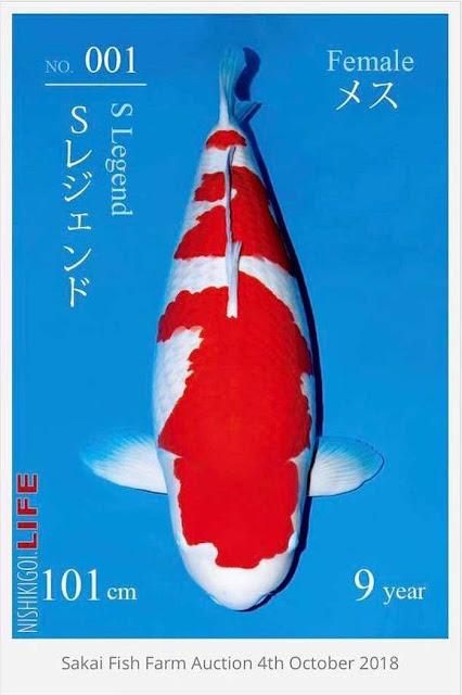 Bikin Kantong Jebol! Harga Ikan yang Relatif Terjangkau di Indonesia Ini Ternyata Tembus Harga Milaran di Jepang!