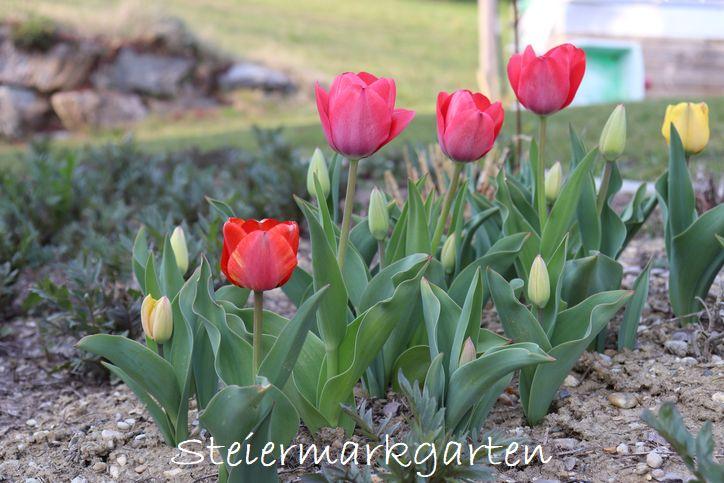 Triumph-Tulpen-Steiermarkgarten