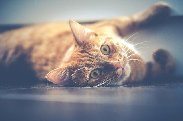 Cara Mengatasi Kucing Hiperaktif