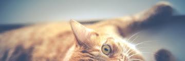 Kucing suka nyakar? Inilah Cara Mengatasi Kucing Hiperaktif